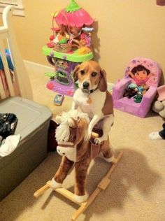 Beagle rides on...