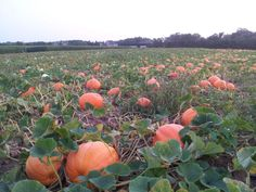 Dan's Papers shares where to pick pumpkins in Long Island's North Fork