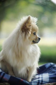 beautiful pomeranian - Google Search