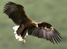 White-Tailed Eagle () Also known by several other names such as the sea eagle, the erne, or the grey sea eagle, the white-tailed eagle is a very large bird of prey, measuring up to 94 cm (37 in) in length with up to a 2.45 m (8 ft) wingspan. A highly efficient hunter as well as opportunistic scavenger, the white-tailed eagle is considered a close cousin of the iconic bald eagle and occupies the same ecological niche, but in Eurasia.