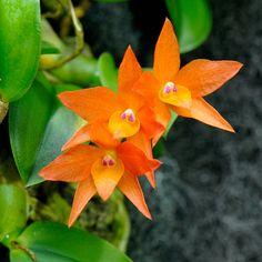 Sophronitis cernua - Flickr - Photo Sharing!