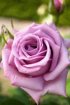 Bluebird Floribunda rose