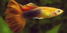 Guppy Fish Care – How to Care for Guppies? Tropical Freshwater Fish, Tropical Fish Aquarium, Tropical Fish Tanks, Freshwater Aquarium Fish, Aquascaping, Fish Breeding, Cool Fish, Fish Care, Pet Fish