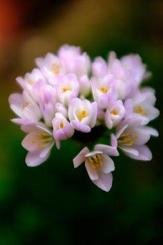 Wild Garlic' Flowers