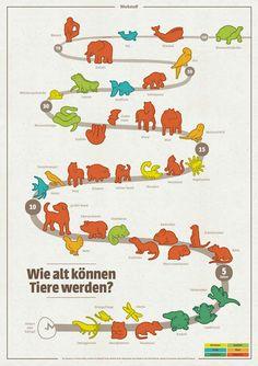 Wie alt können Tiere werden? Dieses illustrierte Lernplakat verrät es Groß und Klein ... Haben Sie das gewusst? Eine Weinbergschnecke kann in etwa so alt werden wie eine Riesenschlange, nämlich stolze 30 Jahre. Und eine Vogelspinne wird mit circa 15 Jahren in etwa so alt wie ein Wellensittich. In dieser Infografik gibt es Informationen über [...]