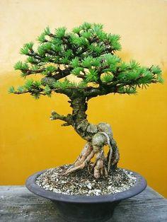 根上がり盆栽