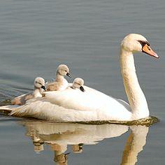 Animals And Pets, Baby Animals, Cute Animals, Animal Fun, Animal Facts, Beautiful Birds, Animals Beautiful, Beautiful Swan, Cygnus Olor