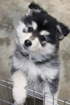Finnish Lapphund - I don't know why I need one of these dogs!  I <3 them!!
