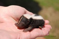 Baby Skunk- omg and I thought bunnies were adorable!!!