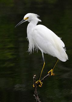 Snowy Egret Fishing - Egretta Thula, Everglades National Park, Florida