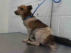 GINA (A1675794) I am a female white and tan Jack (Parson) Russell Terrier. The shelter staff think I am about 4 years old. I was found as a stray and I may be available for adoption on 02/01/2015. — hier: Miami Dade County Animal Services. https://www.facebook.com/urgentdogsofmiami/photos/pb.191859757515102.-2207520000.1422695565./918169458217458/?type=3&theater