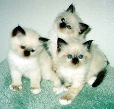My first and second pets were Seal Point Siamese just like this. Beautiful blue eyes!! Sweet Temperament......