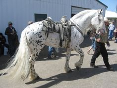 Mystic Warrior - Friesian Appaloosa (He's much lighter now than when he was a colt.)