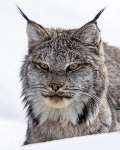 Lynx, Banff, Alberta - Cai Priestley (@caipriestleyphotography) on Instagram