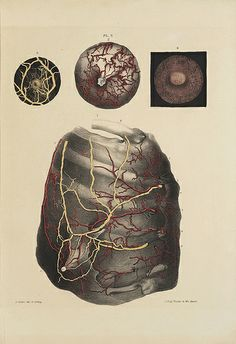 'On the Anatomy of the Breast' 1840, by Sir Astley Paston Cooper: 'Arteries and Veins'