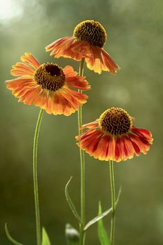 Heleniums / Mandy Disher