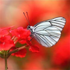 Bela borboleta retirando o pólen das flores! e assim polenizar outras flores...expressando o cuidado de Deus!
