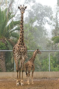 Young Obi with and adult giraffe on March 1, 2016, the smallest giraffe born at the San Diego Zoo. Photo Credit:Tammy Spratt, San Diego Zoo Global
