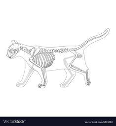 Cat skeleton veterinary vector image on VectorStock Cat Skeleton, Skeleton Anatomy, Skeleton Drawings, Skeleton Tattoos, Dog Anatomy, Anatomy Art, Animal Skeletons, Animal Skulls, Animal Sketches