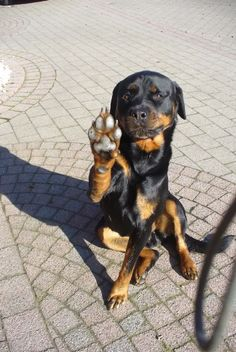 #Rottweiler saying hi five