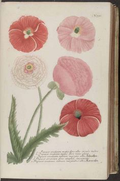 Corn poppy, Field Poppy, Red Poppy. Weinmann, Johann Wilhelm, Phytanthoza iconographia, 1745. Illustration contributed by the Missouri Botanical Garden, U.S.A.