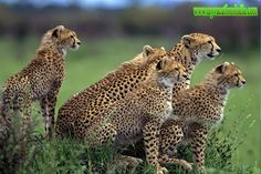 Safari and Wildlife Vacations enlarge your mind, and your heart. It is our pleasure to bring you a variety of itineraries, travel styles, and destinations and lot more. For more information on Wildlife Tours in India visit http://www.myvacationsindia.com/wildlife/