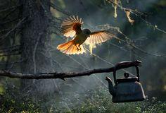 Kuukkeli, onnen lintu - Siberian Jay, the luck bringer  Kari Leo: Metsän emäntä. Vuoden luontokuva 2009