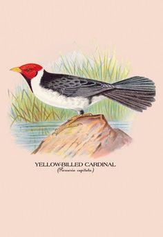 Yellow-Billed Cardinal, by Arthur G. Butler