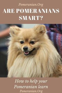 Are Pomeranians smart ? Discover how smart a Pomeranian actually is and find out how to help your Pomeranian learn. Pomeranian Facts, Pomeranian Puppy, Husky Puppy, Miniature Puppies, Teacup Puppies, Corgi Puppies, Equine Photography, Animal Photography, Siberian Husky Puppies