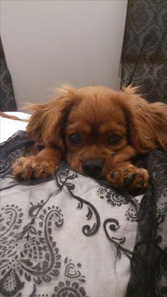<3 Cavalier King Charles Spaniel Puppy