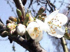 'Kirschblütenfest' von Dirk h. Wendt bei artflakes.com als Poster oder Kunstdruck $18.03