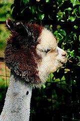 Sweet Alpaca - Show off!