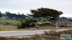 Zypressen - Check more at https://www.miles-around.de/nordamerika/usa/kalifornien/highway-no-1-von-san-francisco-nach-marina/,  #17-Miles-Drive #Carmel #HighwayNo.1 #Hotel #Kalifornien #Nationalpark #Natur #Pazifik #Reisebericht #SanFrancisco #USA