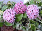 "Hoya Carnosa ""Wax Flower"""