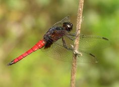 Hadrothemis defecta, Family: Libellulidae, Order: Odonata, Class: Insecta; fond in Angola, Cameroon, Central African Republic, other African countries