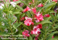 Balsam - Impatiens balsamina - Camelia-flowered balsam is an old-fashioned annual with rose-shaped flowers of pink, red, salmon, purple and white. The flowers appear along the stems, which are clothed in pointed, bright green leaves. Attracts hummingbirds. Easy to grow-self sows.