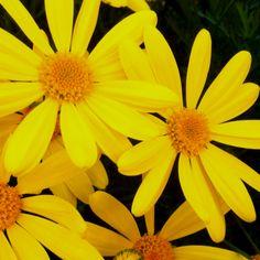 My garden daisies.