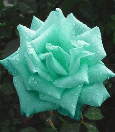 What a glorious color this rose is!!!!! Love it!!!!! God sure makes pretty ones, doesn't He?????