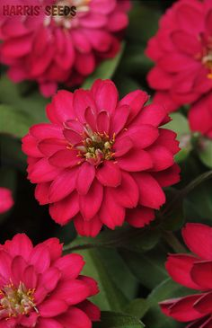 Harris Seeds | Zahara Double Cherry Zinnias- talk about hot pink! Gorgeous flowers.