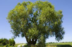 Sejle-pilen er den største vildtvoksende pil i Danmark og en af de få pilarter, der vokser som et lille træ i skoven.
