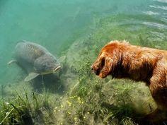 Carp vs dog!  #carp #dog