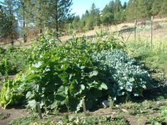 Gardening at 4,200 feet. Blogger Ed Essex says his garden is doing well and his and Laurie's attention to the soil and gardening conditions is paying off. From MOTHER EARTH NEWS magazine.