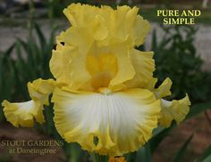 Iris PURE AND SIMPLE