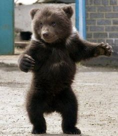 Baby bear learning how to walk