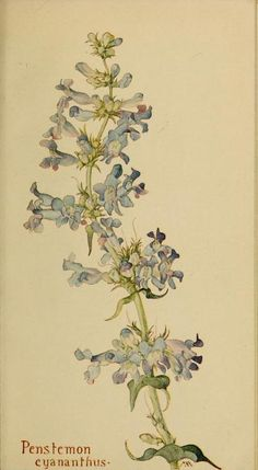 ~ Penstemon cyananthus - plate from 'Field Book of Western Wild Flowers' (1915) by Margaret Armstrong