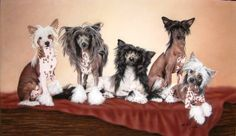 chinese crested dog, they make me smile, there's definitely character there!