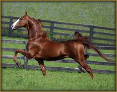 Horse / the american saddlebred:  Born Contender