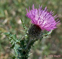 Flores Silvestres del Mediterráneo: Asteraceae: Carduus valentinus