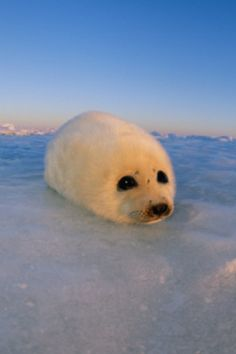 Baby harp seal Harp Seal Pup, Baby Harp Seal, Baby Seal, Cute Seals, Funny Seals, Cute Wild Animals, Animals And Pets, Beautiful Creatures, Animals Beautiful