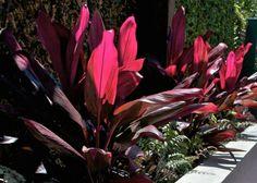 Outside Instyle Landscape Design Cordyline Fruticosa Rubra Planting, Gardening, Drought Tolerant Plants, Landscaping Plants, Landscape Design, The Outsiders, Palette, Deco, Color